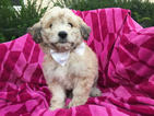 Pookimo Puppy For Sale in PEACH BOTTOM, PA, USA