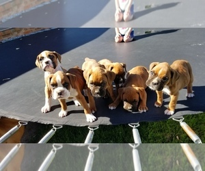 Boxer Puppy for sale in SHAWNEE, OK, USA