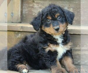 Bernedoodle-Poodle (Miniature) Mix Puppy for sale in STANLEY, WI, USA