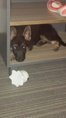 German Shepherd Dog Dog For Adoption in TRINITY, NC, USA