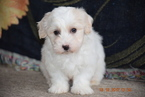 Coton de Tulear Puppy For Sale in FREDERICKSBURG, OH, USA