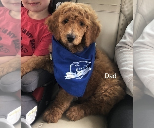 Medium Photo #4 Goldendoodle Puppy For Sale in SALEM, OR, USA