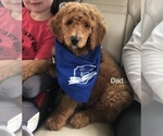 Small Photo #4 Goldendoodle Puppy For Sale in SALEM, OR, USA