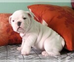 Small #6 Bulldog