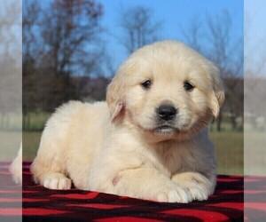 Golden Retriever Puppy for sale in WAYNESBORO, PA, USA