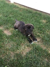 Cane Corso Puppy For Sale in STEVENSVILLE, MD, USA