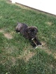 Cane Corso Puppy Clearance 1 Female Left