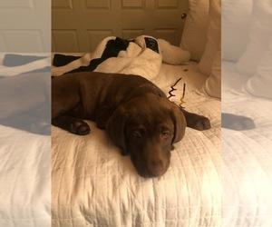 Labrador Retriever Puppy for Sale in SAN FRANCISCO, California USA