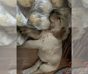 Golden Retriever Puppy for Sale in HOLDEN, Missouri USA