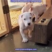 Small Photo #71 Dogo Argentino Puppy For Sale in PINEVILLE, MO, USA