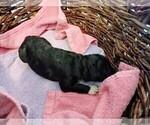 Puppy 13 Sheepadoodle