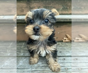 Yorkshire Terrier Puppy for Sale in INDIANAPOLIS, Indiana USA