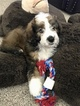 Bernedoodle Puppy For Sale in GRANDVIEW, MO, USA