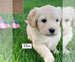 Puppy 4 English Cream Golden Retriever-Poodle (Miniature) Mix