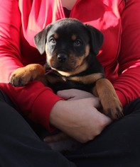 Rottweiler Puppy For Sale in ABERDEEN, MD, USA