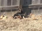 German Shepherd Dog Puppy For Sale in ATOKA, TN, USA