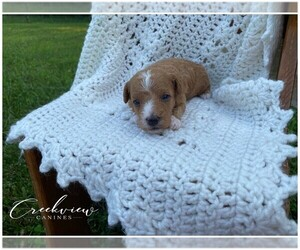 Poodle (Toy) Puppy for Sale in NIANGUA, Missouri USA