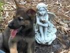 German Shepherd Dog Puppy For Sale in MURCHISON, TX, USA