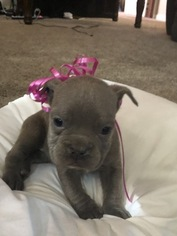 Olde English Bulldogge Puppy For Sale in JUDSONIA, AR, USA
