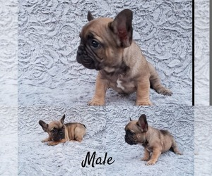 French Bulldog Puppy for sale in GLASSELL, CA, USA