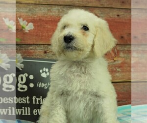 Goldendoodle Puppy for Sale in KARLSTAD, Minnesota USA