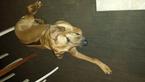 Rhodesian Ridgeback Puppy For Sale in BLOOMFIELD HILLS, MI