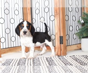 Beagle Puppy for sale in NAPLES, FL, USA