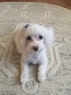 Maltese Dog For Adoption in HOLLYWOOD, MD, USA