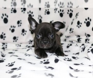 French Bulldog Dog for Adoption in SAN FRANCISCO, California USA