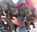 Brittany Puppy For Sale in LANCASTER, California,