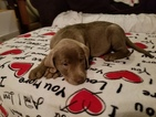 Labrador Retriever Puppy For Sale in MARENGO, OH, USA