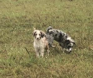 Aussiedoodle-Australian Shepherd Mix Puppy for Sale in GLENALLEN, Missouri USA