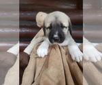 Small #16 Anatolian Shepherd-Maremma Sheepdog Mix