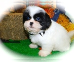 Small #5 Shih Tzu-Shih-Poo Mix