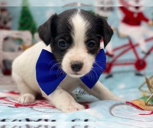 Jack Russell Terrier-Poodle (Standard) Mix Dog for Adoption in LANCASTER, Pennsylvania USA