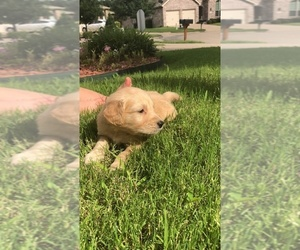 Golden Retriever Puppy for Sale in FORNEY, Texas USA