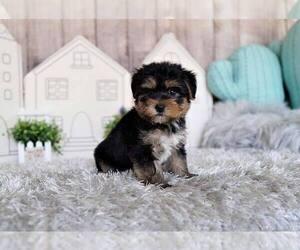 Morkie Mix Dog for Adoption in FULLERTON, California USA