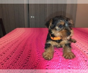 Yorkshire Terrier Puppy for Sale in COOLBAUGH TOWNSHIP, Pennsylvania USA