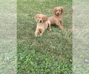 Golden Labrador Puppy for sale in DETROIT, MI, USA