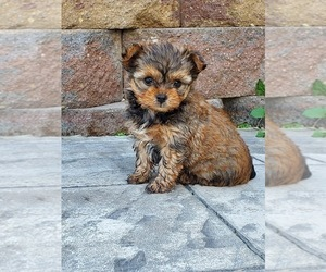 Australian Shepherd-Yorkie-Poo Mix Puppy for sale in SHILOH, OH, USA