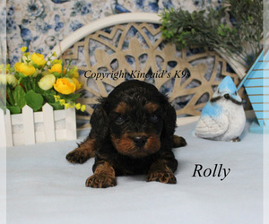 Cavapoo Puppy for sale in CHANUTE, KS, USA