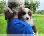 Small Photo #3 Australian Shepherd Puppy For Sale in CLARKSVILLE, TX, USA