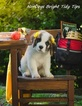 AKC Female Saint Bernard Puppy TT
