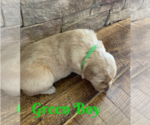 Small Photo #7 Golden Retriever Puppy For Sale in ROGERSVILLE, MO, USA