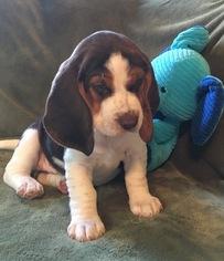 Beagle Puppy For Sale in PINCKNEY, MI
