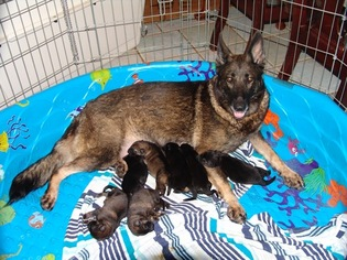 German Shepherd Dog Puppy For Sale in BRANDON, MS, USA