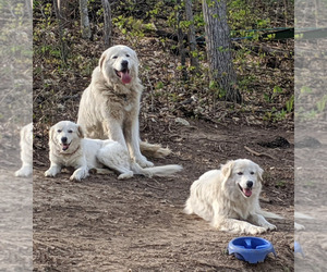 Maremma Sheepdog Puppy for sale in THORN HILL, TN, USA