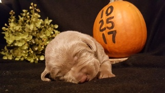 Labrador Retriever Puppy For Sale in CATAWISSA, MO, USA
