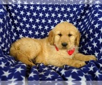 Small Photo #5 Golden Retriever Puppy For Sale in OXFORD, PA, USA
