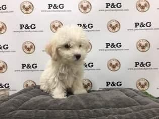 Maltipoo Puppy For Sale in TEMPLE CITY, CA